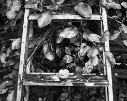 apple_ladder