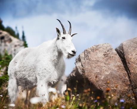 mnt._goat_gnp