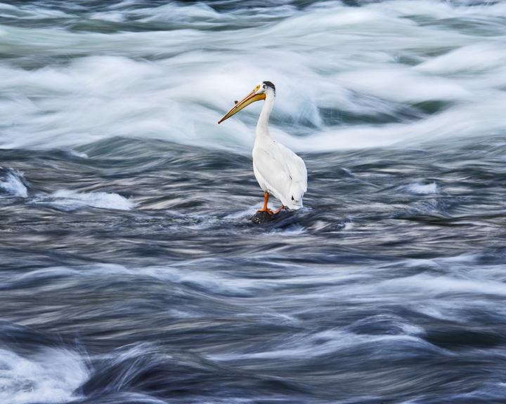 pelican2.1-4