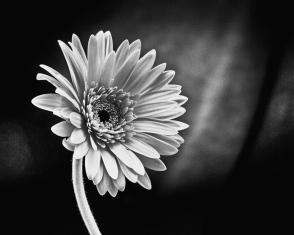 Sepia_Flower_Final